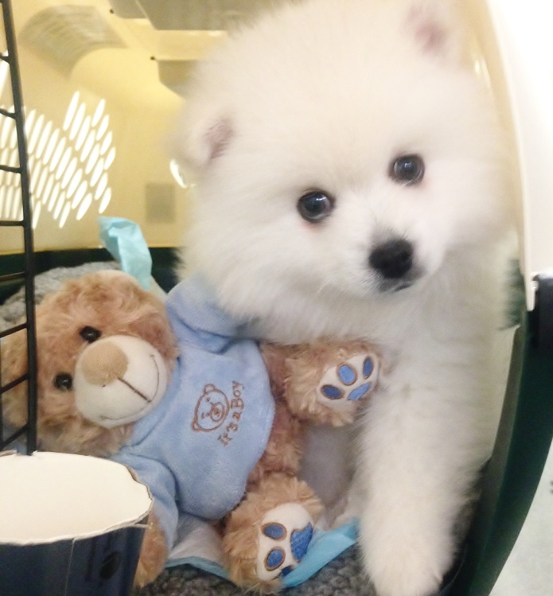 Welcome to CB'S Toy American Eskimo's! - CKC & UKC Registered Toy