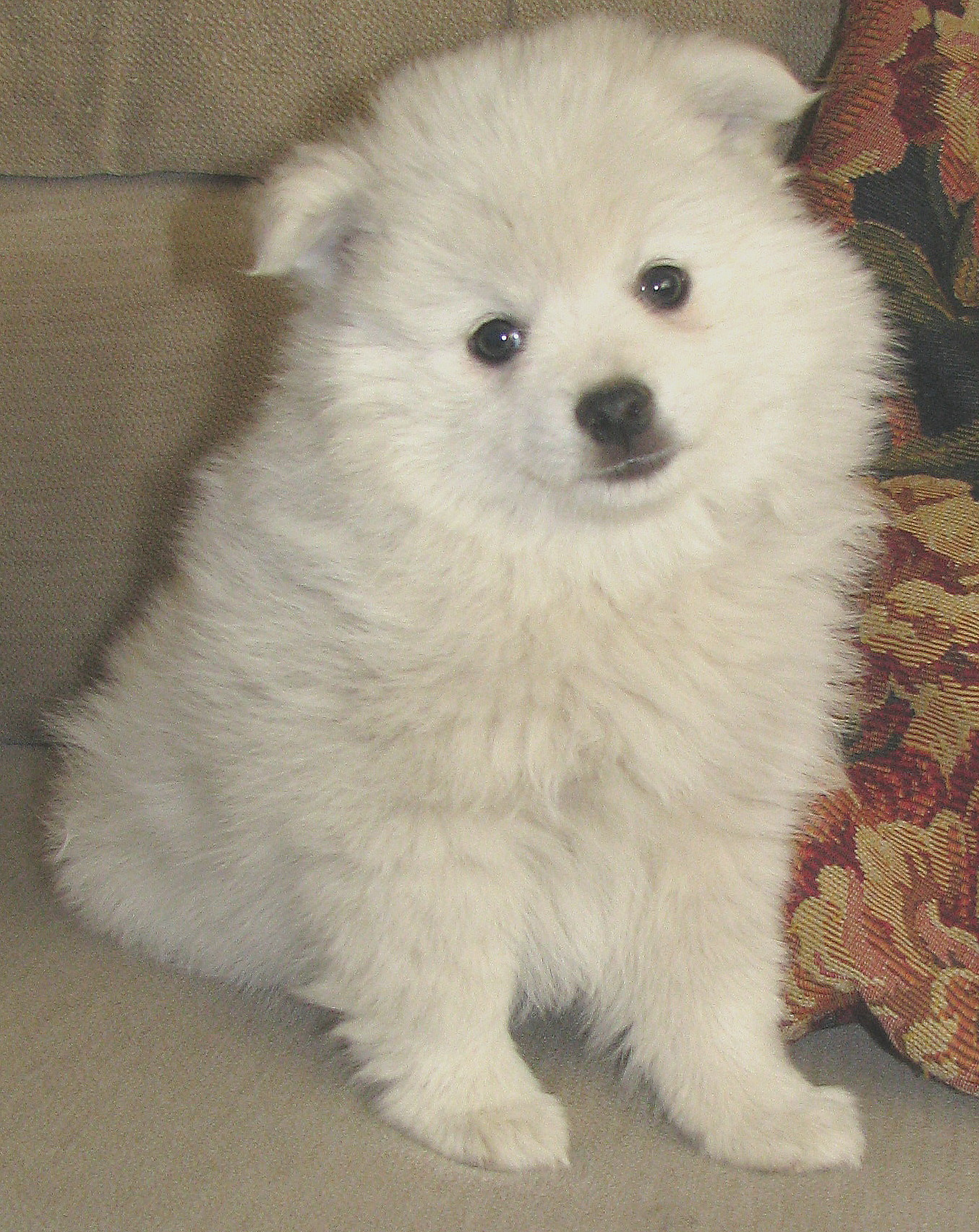 ... American Eskimo's & White Pomeranian Puppies for sale available for BC