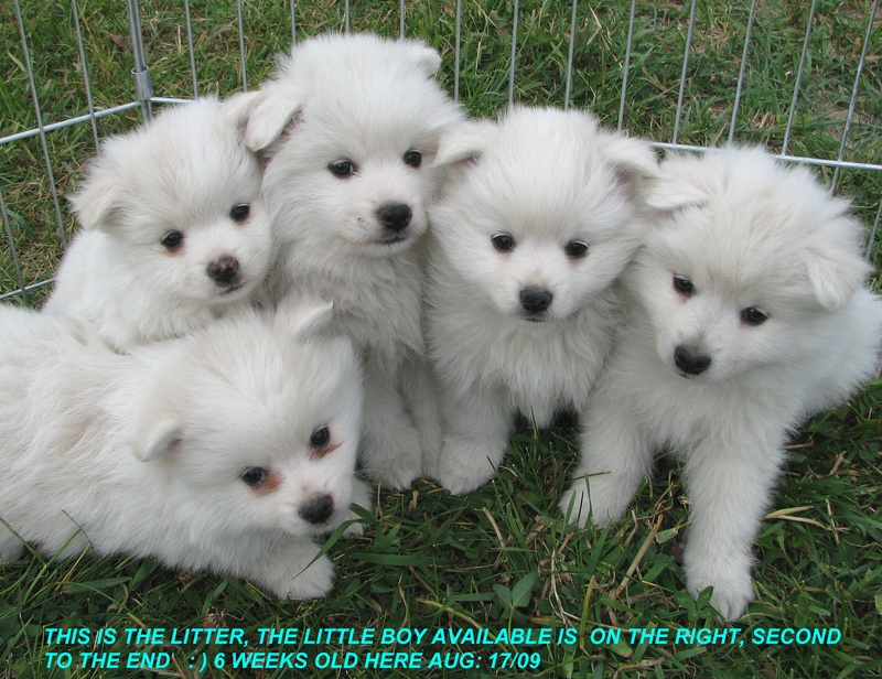 Pomeranian Puppies For Sale Toy American Eskimo