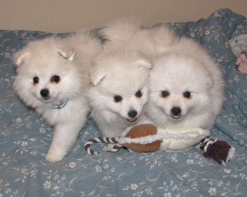 Toy Miniature American Eskimo Puppies Dogs Pictures Information For
