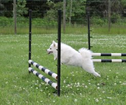 Vicky dog agility training